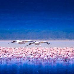 African-Flamingos.jpg