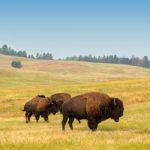 Buffallos-in-South-Dakota.jpg