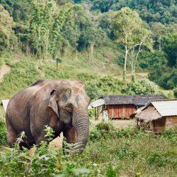 Elephant-in-village.jpg