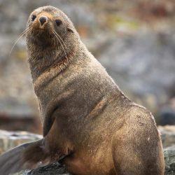 Meet-the-brown-seals-in-Antarctica.jpg